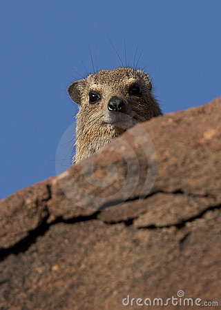 Hyrax de rocha (capensis do procavia)