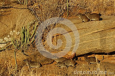 Hyrax (Procavia capensis)