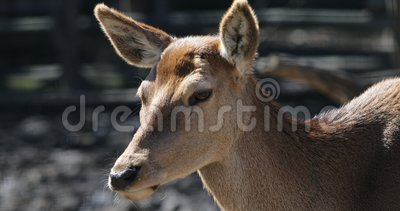 I cervi fawn in foresta selvaggia stock footage