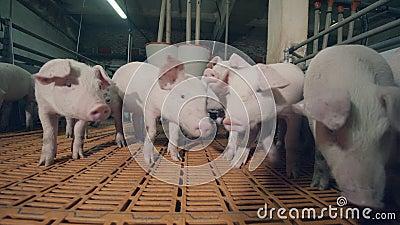 I maiali da allevamento sono cauti con la telecamera stock footage