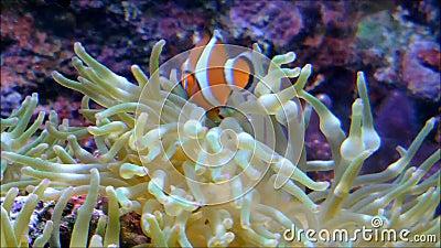 I pesci nuotano nella barriera corallina archivi video