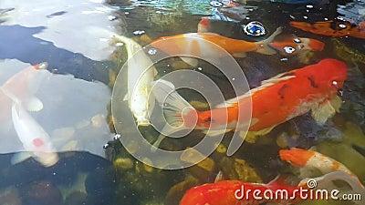 I pesci stanno nuotando nello stagno archivi video
