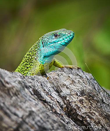 Free Iberian Emerald Lizard Stock Images - 92091954