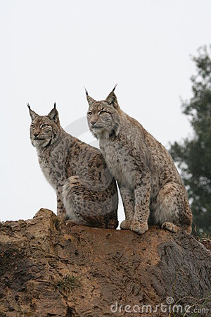Free Iberian Lynx Royalty Free Stock Photos - 2059748