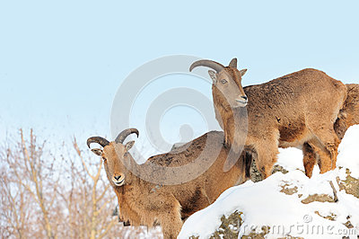 Ibex Royalty Free Stock Image - Image: 28743626