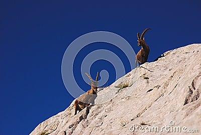 Ibex, Dolomites
