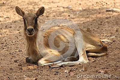 Ibex female, nile lechwe