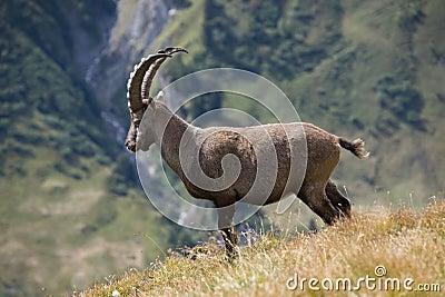 Ibex in Ferret Valley