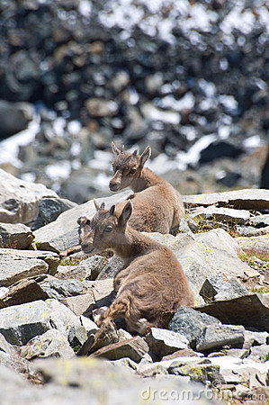 Ibex or goats on mountain