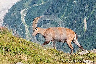 Ibex, Mont Blanc
