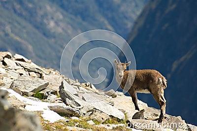 Ibex pet