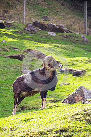 Ibex standing in the sun