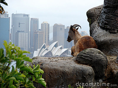 Ibex on Sydney skyline Editorial Photography