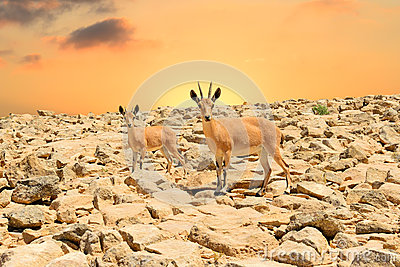 Ibexes and sunset
