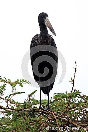 Ibis Bird - Wildlife Sanctuary - Uganda