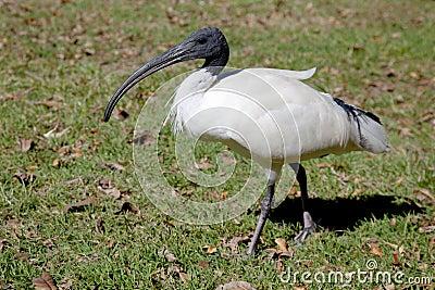 Ibis branco australiano