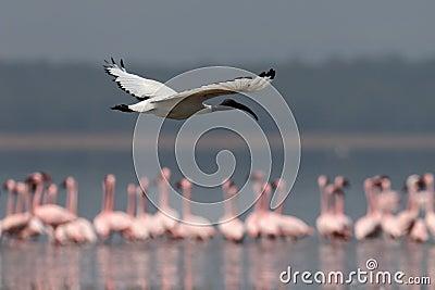Ibis sacred flies over the lake