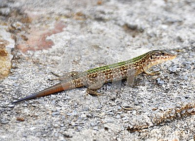 Ibiza Lizard