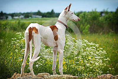 Ibizan猎犬