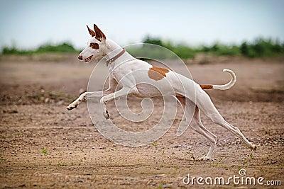 Ibizan Hound dog