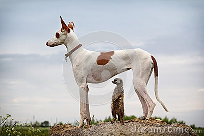 Ibizan Hound dog and meerkat