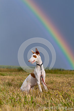 Ibizan hound dog with rainbow