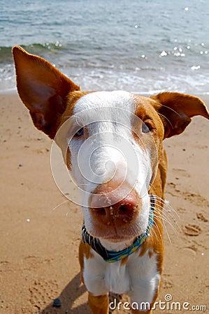 Ibizan hound staring