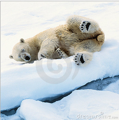 Free Ice Bear Stock Photography - 17012