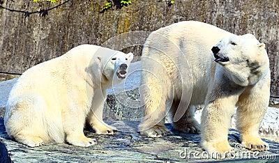 Ice Bears
