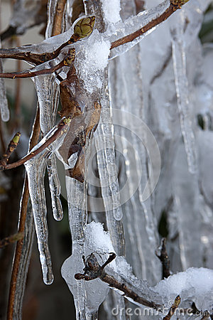 Ice covered leaves.