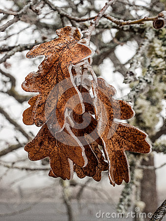 Ice covered oak leaves