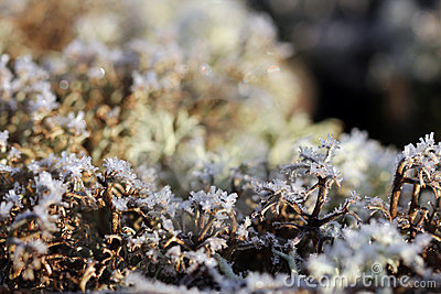 Ice Crystals on Reindeer Lichen (Cladonia)
