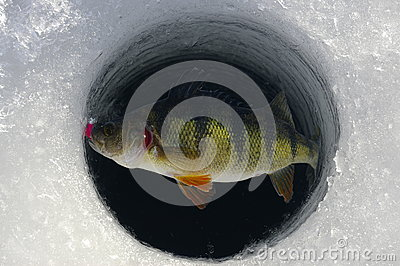 how to catch yellow perch in winter