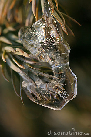 Ice on Pine Tree
