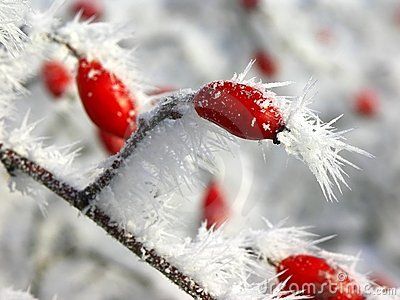 Ice on wild rose fruit