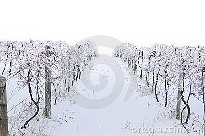 Iced Vineyard