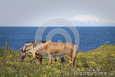 Iceland: Horses on pasture