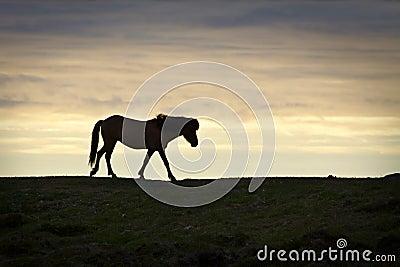 Iceland: Icelandic horse