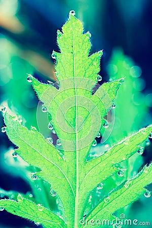 Iceland Poppy leaf