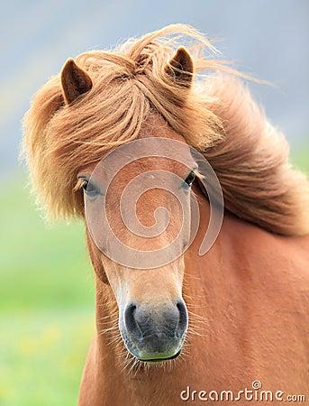 Free Icelandic Horse Royalty Free Stock Photo - 42548355