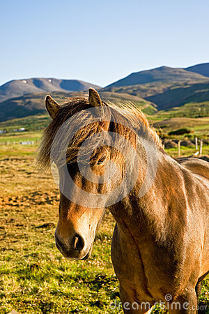 Icelandic horse in a farm late evening.