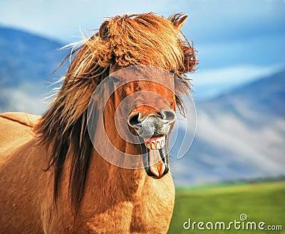 Icelandic horse smiling