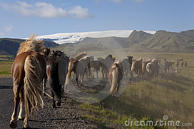 Icelandic Horses Running Down A Road Into Fields