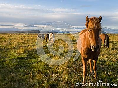 Icelandic horses in the wild