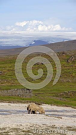 Icelandic sheep drinking at Hveravellir