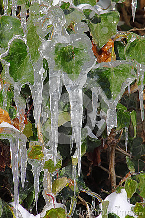 Icicles on green leaves