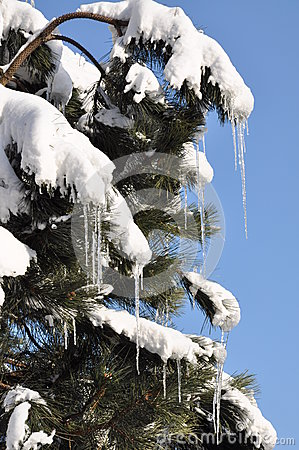 Icicles and snow on pine tree, the end of winter