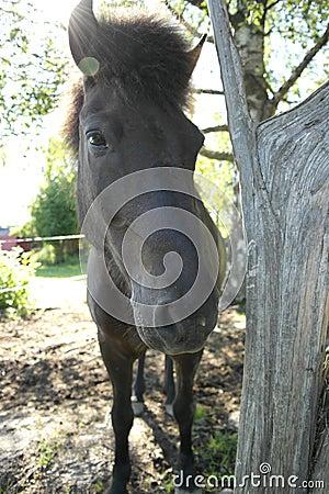 Icleandic horse