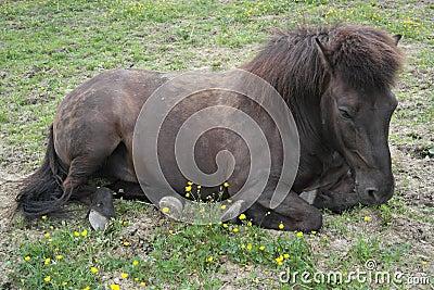 Iclelandic horse lying down