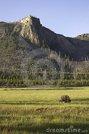 Iconic bison in Yellowstone